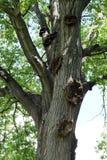 Árvore velha no parque Imagens de Stock