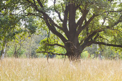 Árvore velha no parque nacional Hoge Veluwe, Países Baixos fotos de stock royalty free