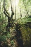 Árvore velha no penhasco na floresta verde Fotos de Stock