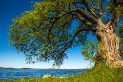 Árvore velha pelo lago Imagem de Stock