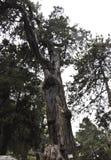 Árvore velha preservada no jardim imperial da Cidade Proibida do Pequim fotografia de stock