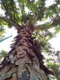 Árvore velha resistida Fotos de Stock