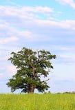 Árvore velha só fotografia de stock