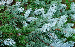 Árvore verde, árvore de abeto, filiais verdes Fotos de Stock Royalty Free