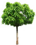 Árvore verde. Fotografia de Stock Royalty Free
