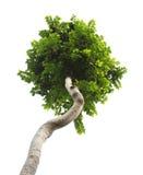 Árvore verde Fotos de Stock Royalty Free