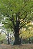 A árvore verde Imagem de Stock Royalty Free