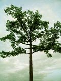 Árvore verde Foto de Stock