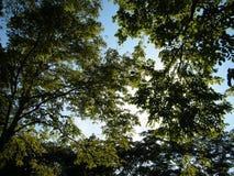 Árvore verde com o céu azul na floresta Fotos de Stock