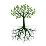 Árvore verde com raizes Ilustração do vetor Foto de Stock Royalty Free
