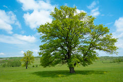 Árvore verde da mola Fotos de Stock