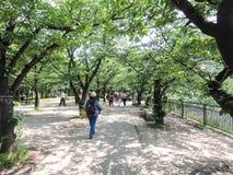 Árvore verde de Sakura Fotografia de Stock