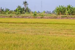 Árvore verde do arroz no país, Chachoengsao, Tailândia Fotografia de Stock Royalty Free