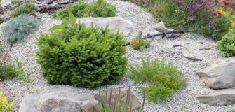 Árvore verde do descanso do anão em um monte alpino decorativo ajardinar Fotos de Stock Royalty Free