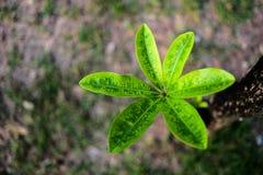 Árvore verde do frangipani na foto da vista superior fotografia de stock royalty free