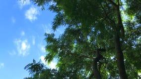 A árvore verde do salgueiro está movendo-se no vento no fundo azul do céu nebuloso video estoque