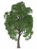 Árvore verde do verão isolada no fundo branco renda o álamo de alta qualidade do bordo do elemento do projeto Imagens de Stock