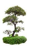 Árvore verde dos bonsais fotografia de stock royalty free