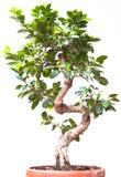 Árvore verde dos bonsais em um fundo branco Fotografia de Stock Royalty Free