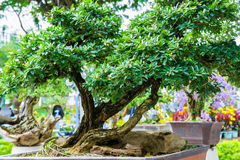 Árvore verde dos bonsais no jardim Fotografia de Stock Royalty Free