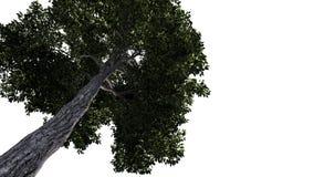 Árvore verde grande no fundo branco Imagens de Stock Royalty Free