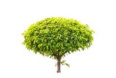 Árvore verde isolada em um fundo branco Foto de Stock