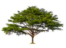 Árvore verde isolada no fundo branco imagem de stock royalty free