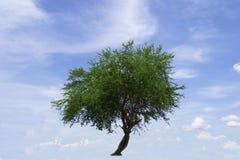 Árvore verde na borda da estrada e fundo bonito do céu azul no campo de Tailândia Imagens de Stock