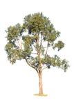 Árvore verde no fundo branco Imagens de Stock Royalty Free