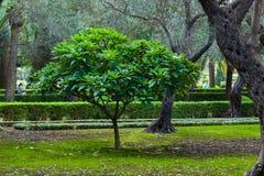 Árvore verde no jardim Fotografia de Stock