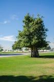 Árvore verde no parque Fotos de Stock Royalty Free