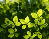 A árvore verde nova fresca sae na luz solar no fundo da floresta Fotografia de Stock Royalty Free