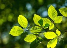 A árvore verde nova fresca sae na luz solar no fundo da floresta Imagem de Stock Royalty Free