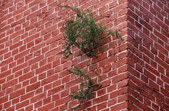 Árvore verde que brota na construção da parede de tijolo fotografia de stock royalty free