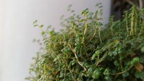 Árvore verde que pendura em um fundo branco escalada isolada planta da videira do verde da hera tropical Trajeto de grampeamento Imagem de Stock