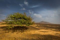 Árvore verde solitária que flutua no ar no deserto africano na ilha do Sal com o céu azul cênico fotos de stock royalty free