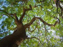 Árvore verde velha com ramos grandes contra o céu azul fotografia de stock