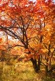 Árvore vermelha fotografia de stock royalty free