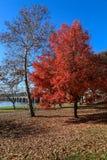 Árvore vermelha Foto de Stock