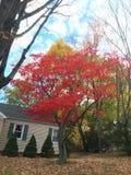 Árvore vermelha Fotos de Stock