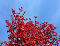 Árvore vermelha Foto de Stock Royalty Free