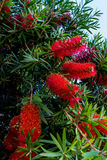 Árvore do Bottlebrush com flores vermelhas e amarelas brilhantes fotografia de stock royalty free