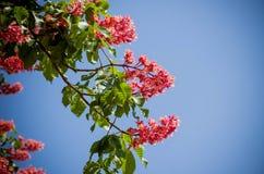Árvore vermelha da castanha-da-índia - símbolo da cidade de Kiev na flor fotografia de stock