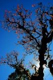 Árvore vermelha da folha contra a luz do sol Fotografia de Stock Royalty Free