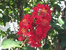 árvore vermelha da murta de crepe Fotografia de Stock