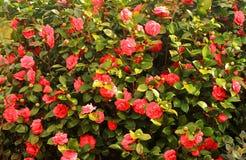 Árvore vermelha de florescência das camélias Fotografia de Stock