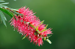 Árvore vermelha do bottle-brush (Callistemon) Foto de Stock