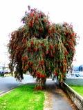 Árvore vermelha do Bottlebrush fotos de stock royalty free