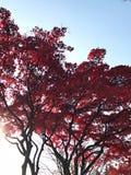 Árvore vermelha do outono com céu azul Imagem de Stock Royalty Free
