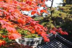 A árvore vermelha do outono sae no parque nacional de Bukhansan, Seoul, Coreia Fotografia de Stock Royalty Free